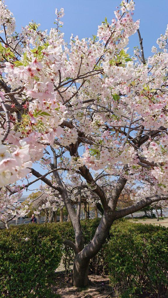 2020桜満開